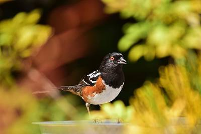 Rufous Sided Towhee 1 Poster