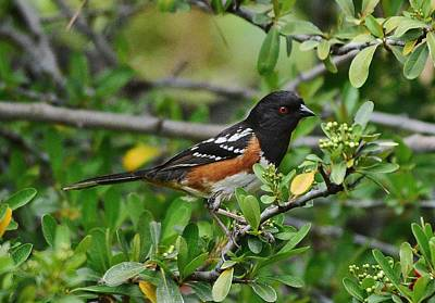 Rufous Sided Towhee 2 Poster