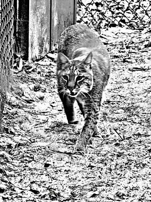 Rufus The Bobcat Poster by Pamela Iris Harden