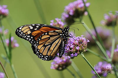 Rumpled Monarch Butterfly Poster