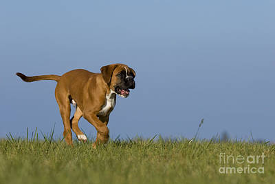 Running Boxer Puppy Poster