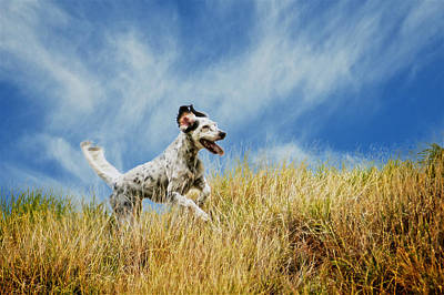 Running The Field, English Setter Poster