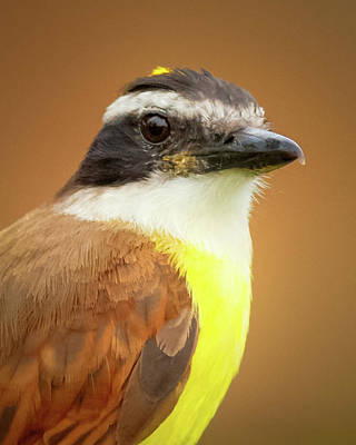 Rusty Margined Flycatcher Parque Del Cafe Colombia Poster