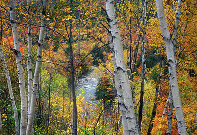 Saco River And Birches Poster by John Burk
