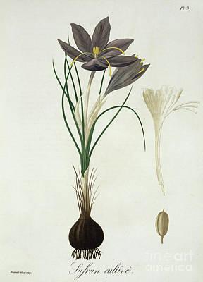 Saffron Crocus Poster