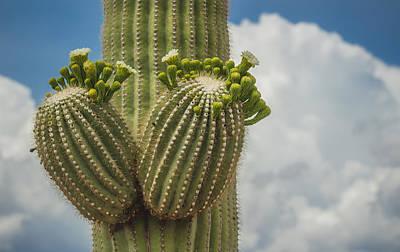 Saguaro Bloom Poster