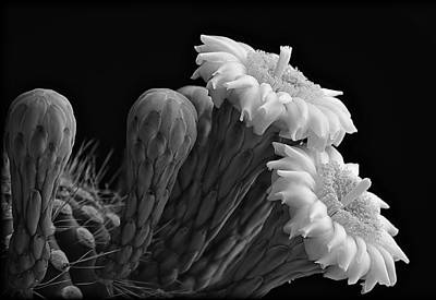 Saguaro Blooms In Black And White  Poster