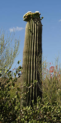 Poster featuring the photograph Saguaro Cactus by Daniel Hebard