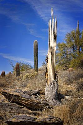 Saguaro Cactus Skeleton Poster