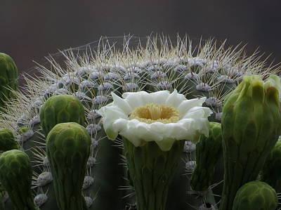 Saguaro Crown Poster