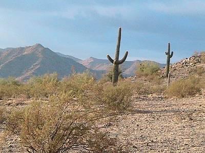 Saguaros On A Hillside Poster