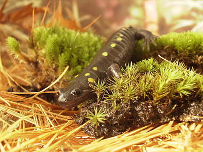 Sally The Spotted Salamander Poster by Martha Ayotte
