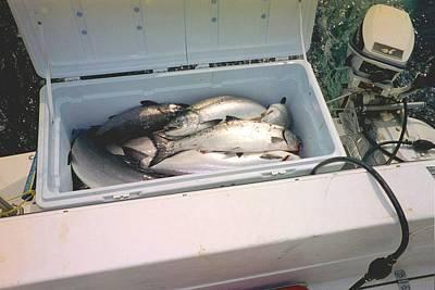 Salmon Catch Of Day Poster by Judyann Matthews