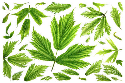 Salmonberry Leaves Poster