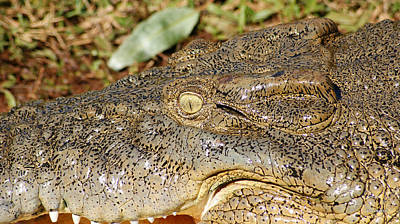 Saltwater Crocodile Eye Poster