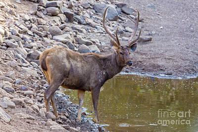 Sambar Deer, India Poster