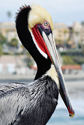 Poster featuring the photograph San Diego Pelican by Kyle Hanson