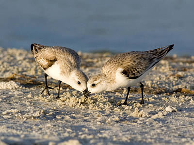 Sanderling Pair Poster by Phil Stone
