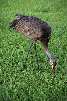 Poster featuring the photograph Sandhill Crane II by Richard Rizzo
