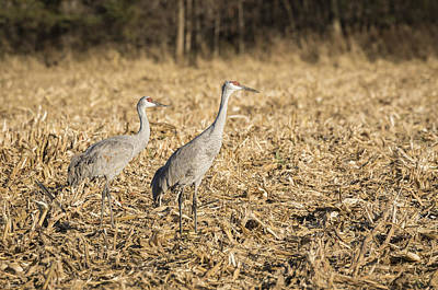 Sandhill Cranes  2015-2 Poster by Thomas Young