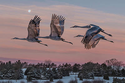 Sandhill Cranes In Flight Poster by Patti Deters