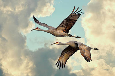 Sandhill Cranes In Flight Poster by Steven Llorca