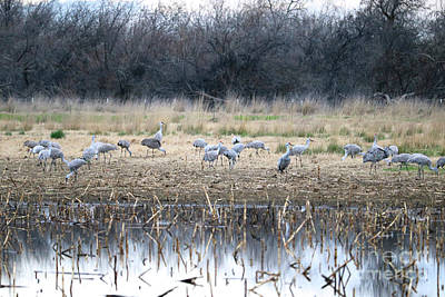 Sandhill Cranes In Gray Poster
