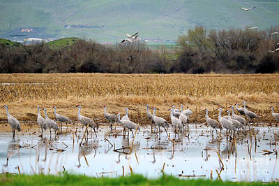 Sandhill Cranes In The Valley Poster