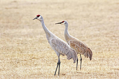 Poster featuring the photograph Sandhill Cranes Of Montana by Jennie Marie Schell