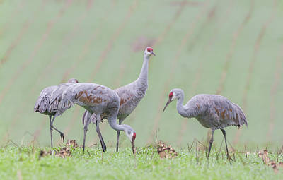 Poster featuring the photograph Sandhill Cranes Of Ridgefield by Angie Vogel