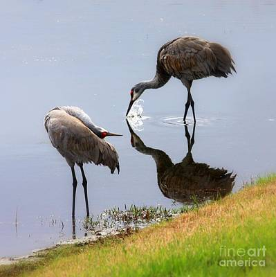 Sandhill Cranes Reflection On Pond Poster