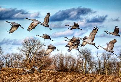 Poster featuring the photograph Sandhill Cranes by Sumoflam Photography