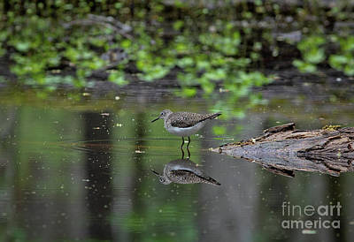 Sandpiper In The Smokies II Poster by Douglas Stucky