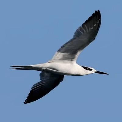Sandwich Tern In Flight Vector  Poster