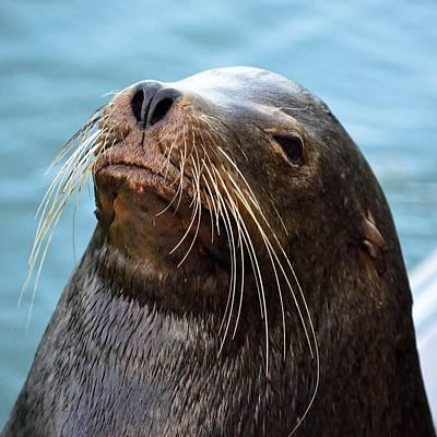 Santa Cruz Dude - Sea Lion Poster