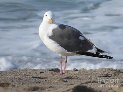 Santa Monica Seagull Poster by Margaret Brooks