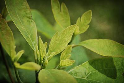 Sassafras Tree Poster