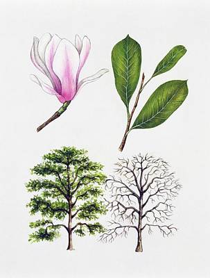 Saucer Magnolia Poster by Unknown