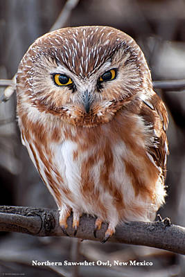 Poster featuring the photograph Saw-whet Owl by Britt Runyon