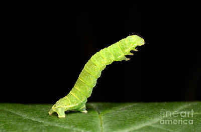 Sawfly Larva Poster