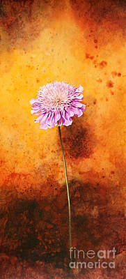 Scabious Poster by John Francis