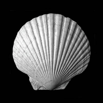 Scallop  Seashell Poster by Jim Hughes