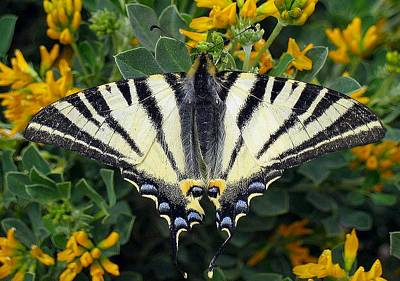 Scarce Swallowtail Iphiclides Podalirius Poster by Tracey Harrington-Simpson
