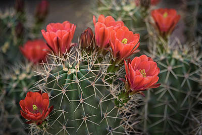 Poster featuring the photograph Scarlet Hedgehog Cactus  by Saija Lehtonen