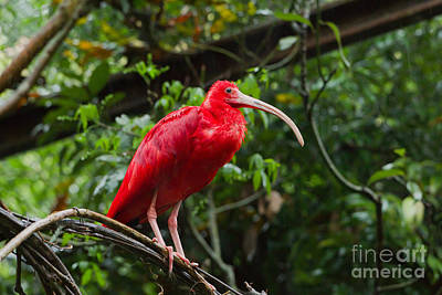 Scarlet Ibis Poster by B.G. Thomson