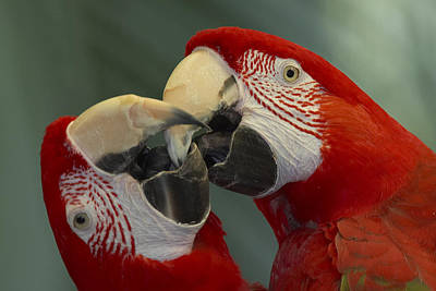 Scarlet Macaw Ara Macao Pair Kissing Poster by Zssd