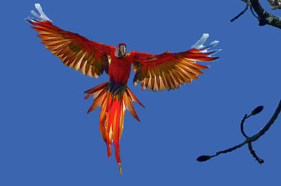Scarlet Macaw On The Osa Peninsula Poster