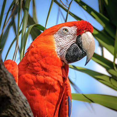 Poster featuring the photograph Scarlet Macaw by Steven Sparks