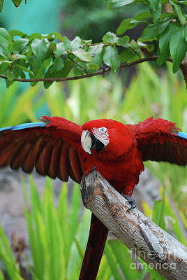 Scarlet Macaw With Wings Extended Poster by DejaVu Designs