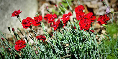 Scarlet Red Dianthus Poster by Teresa Mucha